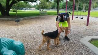 Video Dog Training In Houston, TX, Katy 10MO Airedale Terrier 2 Week Board and Train Before and After download MP3, 3GP, MP4, WEBM, AVI, FLV Desember 2017