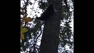 While deer hunting, noticed a corn thief in the area. This raccoon ...