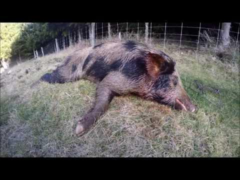 Wild Pig Hunting - 2 Days 4 Pigs