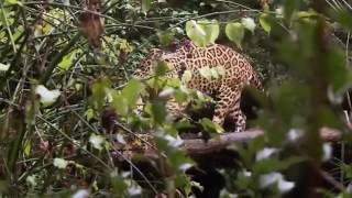Jaguar Attack - Discovery Channel Video - National Geographic Documentary With Animal Planet 2019