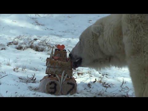 Oldest Polar Bear in America Celebrates 37th Birthday