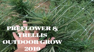 Early Pre Flower Cannabis Grow Outdoor July 2019 trellis netting time