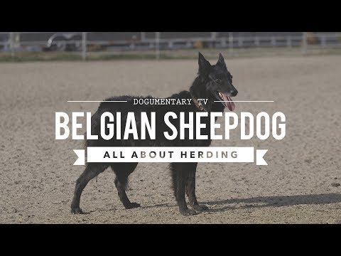 GROENENDAEL BELGIAN SHEEPDOG ALL ABOUT HERDING