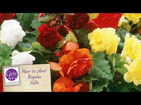 How to plant Begonias