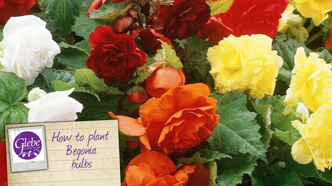 How To Plant Begonias Youtube