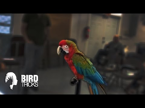 WATCH THIS If Your Bird Has NEVER FLOWN Before