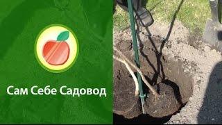 Посадка кизила(Роман Врублевски показывает, как посадить два саженца кизила в одну посадочную яму и рассказывает, зачем..., 2012-06-06T20:35:04.000Z)