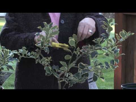 Gardening Tips : How to Prune a Holly Bush