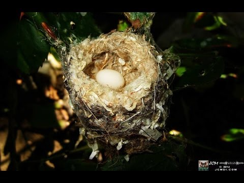 Hummingbird nest with egg (round 2) (Recorded Live Stream)