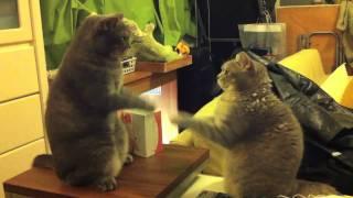 ソフトなケンカの猫2匹、息を合わせて肉球合わせて