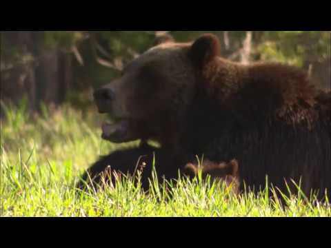 Conservation groups believe Yellowstone ruling will impact northern grizzlies