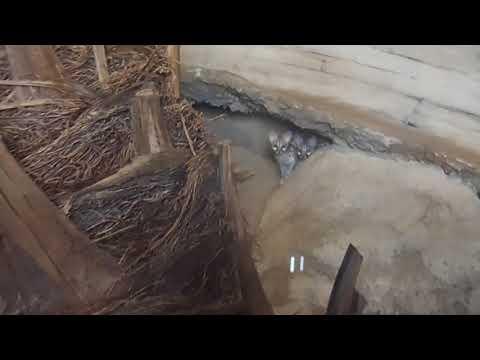44 Small Spotted Common Genet Genetta genetta Emirates Zoo Abu Dhabi 2018