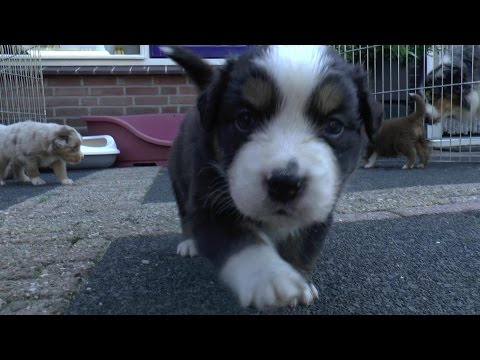 Australian Shepherd Puppies - 4 weeks old - Skayes