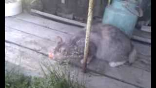 Курильские Острова - на берегу - Видео №29 - кот Кеша(Красную рыбу на Курильских Островах едят не только люди, но и кошки, при этом с большим смаком....... поверьте..., 2015-07-21T08:52:08.000Z)