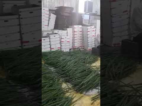 Moringa drumstick Exporter