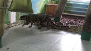 Дымчатый леопард в ожидании подруги 16.12.18