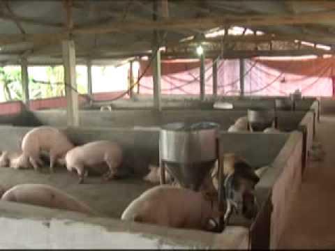 Mô hình chăn nuôi gia súc, gia cầm tại Ba Vì - Hà Nội