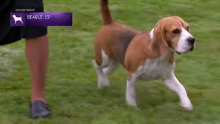 Beagles 15' | Breed Judging 2021
