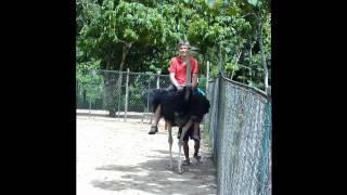 Катание на страусах во Вьетнаме