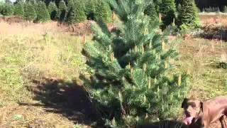 Pruning pine trees (juvenile) or dwarf in spring with no tools.