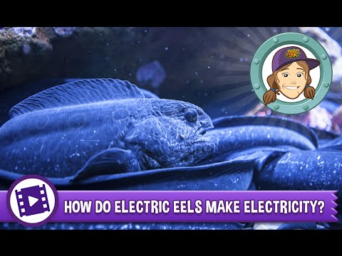 Animal Jam - Ask Tierney: How do electric eels make electricity?