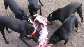 Community Feeding Working Dogs.