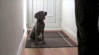 Puppy Training - Murphy The Weimaraner