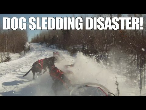 What Happens When You Fall Off Your Dog Sled   A Musher's Nightmare!