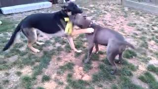 Pit Bull Vs German Shepherd
