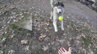 Хаски без поводка - как правильно привлечь внимание собаки