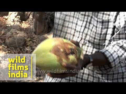 Vendor selling fresh coconut water in streets of India
