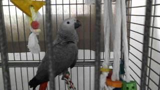 папугай жако Гоша