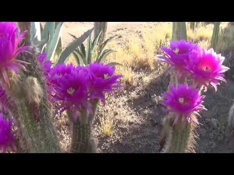 Random Cactus Flower Bee Action Part 1 of 2