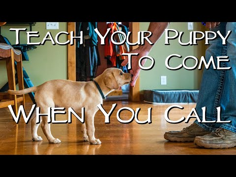 Labrador Retriever Teach Your Puppy To Come When You Call - Gun Dog Training