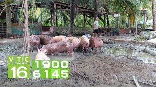 Trong 10 ngày, giá lợn tăng từ 6.000 đến 13.000 đồng | VTC16