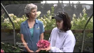 Preserving Hydrangeas