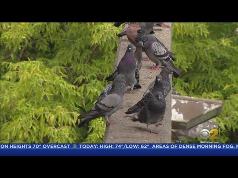 Andi and Kenny  - Lawmaker Giving Interview About Pigeon Poop Problem Gets Pooped On