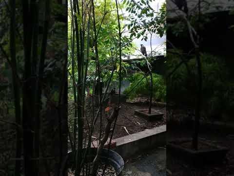 Ternak Poksay Hongkong Aviary Youtube
