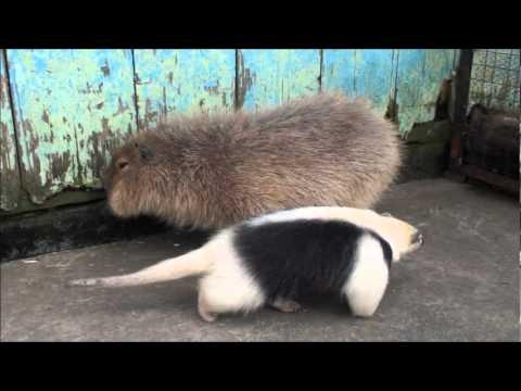 ミナミコアリクイvsカピバラ#1 anteater vs Capybaras #1