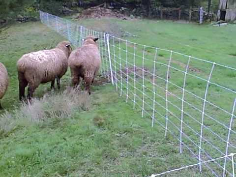 Sheep Touches Electric Fence Youtube