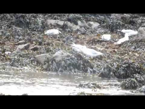 Gulls foraging at intertidal zone, Dale, Pembrokeshire