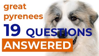 19 Questions [ANSWERED] About Great Pyrenees Breed