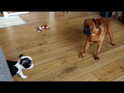 Brussels Griffon / Boston Terrier