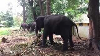 Kodanad Elephant Training Centre Wooden Elephant Cage Anakkottil In Kerala India Latest Video