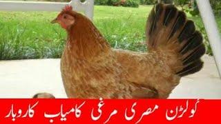 how to Start Golden Misri Business  desi murgi ki farming desi poultry farming