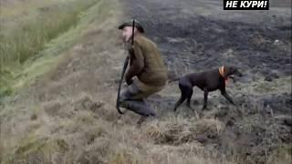 Полювання на куріпок з лягавими. Полювання на куріпок в Білорусії . 2018