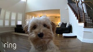 Mini Goldendoodle Puppy Gives Her Pet Dad Kisses on a Ring CamRingTV