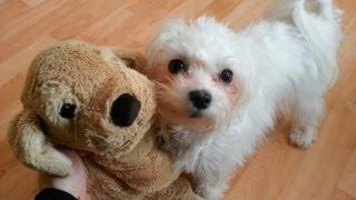 Cute little Maltese dog puppy Luna and her friend (original)