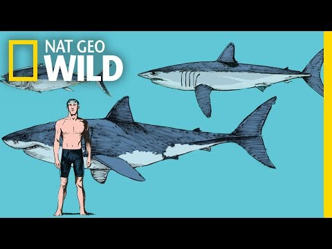 What Makes Mako Sharks the Fastest Sharks in the Ocean? | Nat Geo Wild
