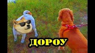 Спаниель Сёма: говорящая собака ЛЮБИТ УТОК!